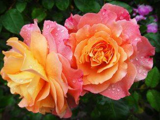 rose-174817_960_7201